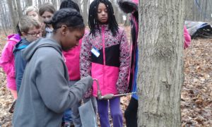 kids-drillinging-maple-trees-new-branches