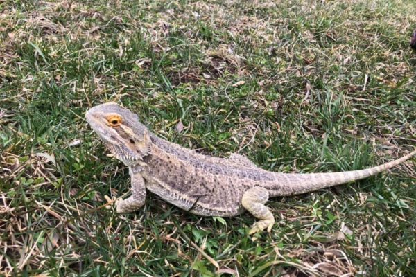 Pogona in grass